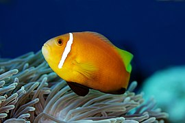 Maldivian clownfish (Amphiprion nigripes) (endemic)