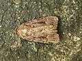 Amphipyra sp. (7980785327).jpg