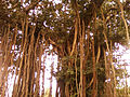 An old Banyan tree near Kummaripalem 03.jpg