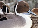 Anas A acuta Anas acuta L1758 Northern Pintail Male.jpg