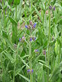 Anchusa officinalis01.jpg