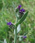 Anchusa officinalis 2 RF.jpg