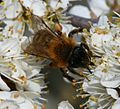 Andrena (Melandrena) nigroaenea - female - Flickr - S. Rae (1).jpg