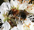 Andrena (Trachandrena) haemorrhoa - Flickr - S. Rae (3).jpg