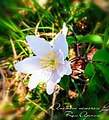 Anemone nemorosa L.jpg