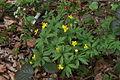 Anemone rannuncoloides PID758-3.jpg