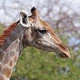 Angolan giraffe (Giraffa camelopardalis angolensis) female head.jpg