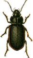 Anisodactylus signatus Jacobson.png
