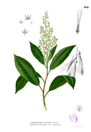 Anisoptera (plant) - Anisoptera thurifera