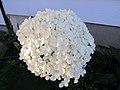Annabelle Hydrangea Flower (11488594696).jpg