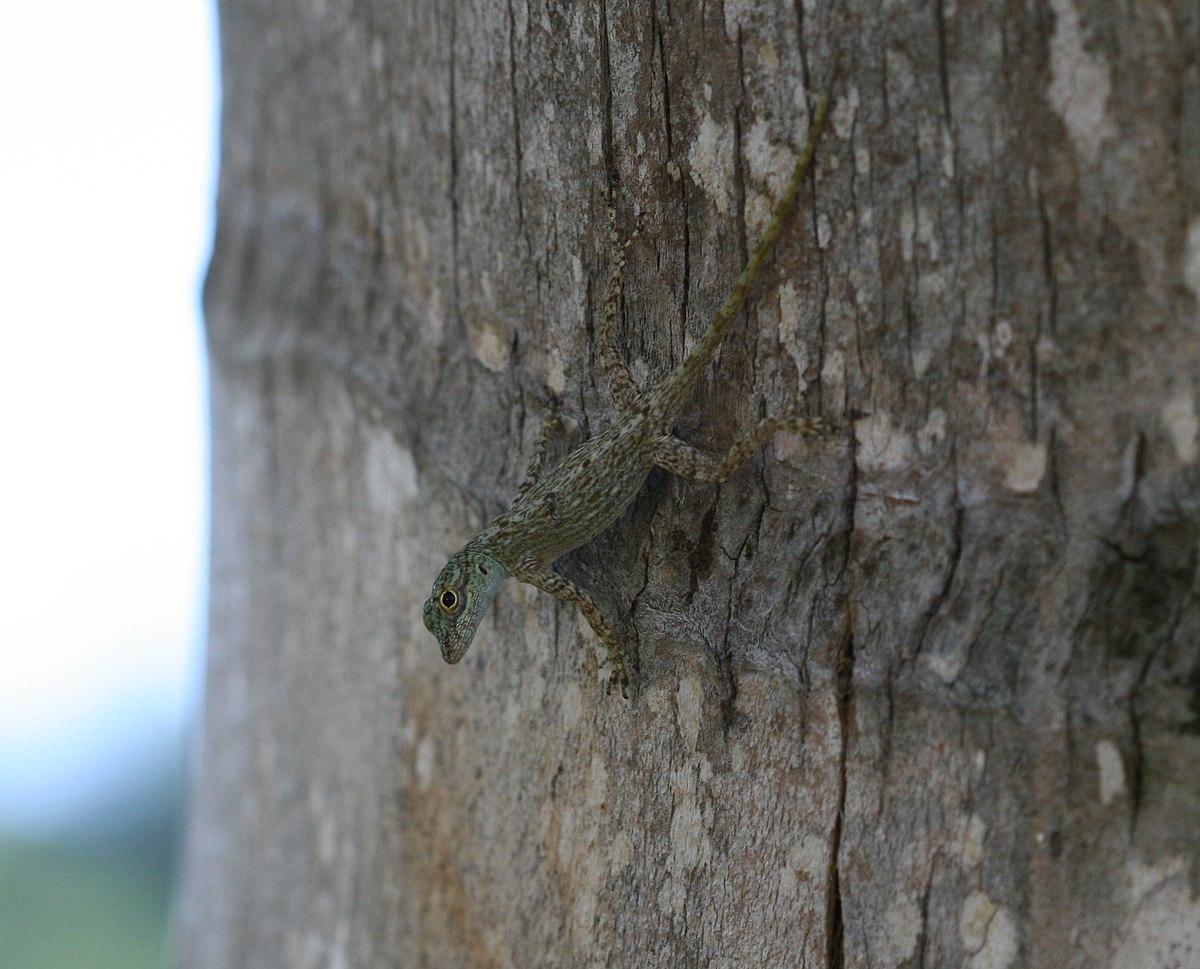 Bark Anole (Anolis distichus)