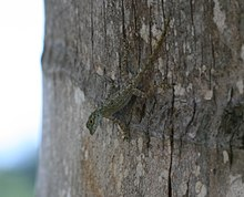 Anolis distichus on tree.jpg
