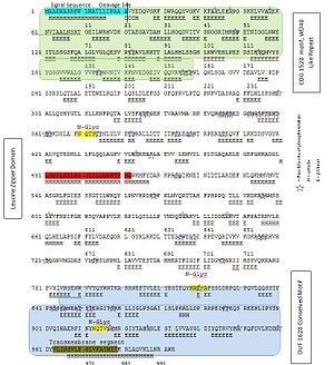 KIAA0090 - Figure 3: A conceptual translation of KIAA0090 with domains, sites of phosphorylation, sites of N-linked glycosylation, and signal peptide.
