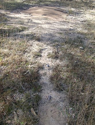 Ant colony - Ant hill and ant tracks, Oxley Wild Rivers National Park, New South Wales