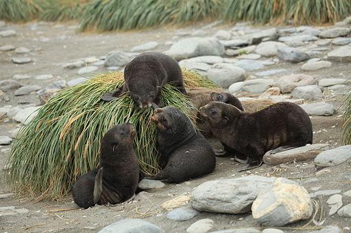 Antarctic Fur Seal Pups play amid Tussock Grass (5723998063)