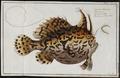 Antennarius histrio - 1700-1880 - Print - Iconographia Zoologica - Special Collections University of Amsterdam - UBA01 IZ13600217.tif