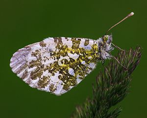 Anthocharis cardamines female MichaD.jpg