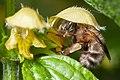 Anthophora plumipes-pjt1.jpg