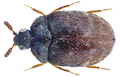 Anthrenocerus australis (Hope, 1843) (30504790893).png