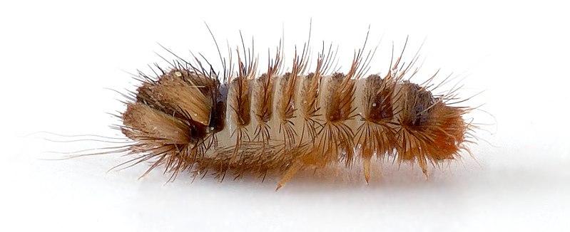 File:Anthrenus verbasci - larva side (aka).jpg