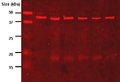Anti-lipoic acid immunoblot.png