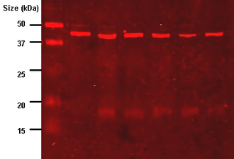 Western blot - Western blot using an antibody that recognizes proteins modified with lipoic acid.