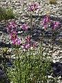 Antirrhinum barrelieri subsp. litigiosum (habitus).jpg