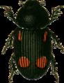 Aphodius quadrimaculatus Jacobson.png