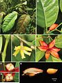Aporosatetragona-Tagane-&-V.-S.-Dang-(Phyllanthaceae)-a-new-species-from-Mt.-Hon-Ba-Vietnam-phytokeys-057-051-g001.jpg