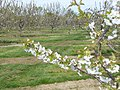 Apple Orchard, Coxheath - geograph.org.uk - 780671.jpg