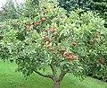 Appletree 2.jpg