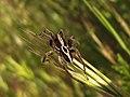 Arañas lobo - Alopecosa sp. (8717922092).jpg