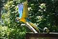 Ara ararauna -Auckland Zoo -flying-8a.jpg