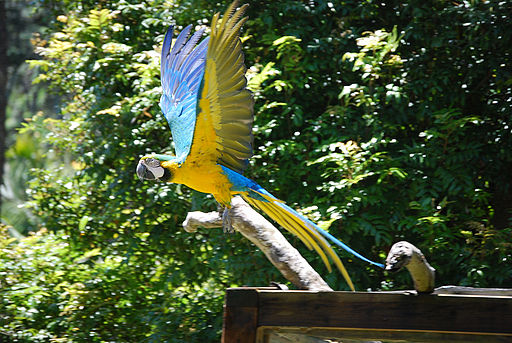 Ara ararauna -Auckland Zoo -flying-8a