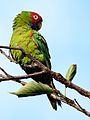 Aratinga erythrogenys -San Francisco -feral parrots preening-8.jpg