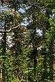 Araucaria 08.jpg