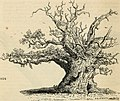 Arboretum et fruticetum britannicum, or - The trees and shrubs of Britain, native and foreign, hardy and half-hardy, pictorially and botanically delineated, and scientifically and popularly described (19756113471).jpg