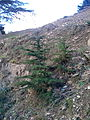 Arbre (parc national de Belezma) 1.jpg