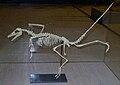 Archaeopteryx IRSNB.JPG