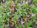 Arctostaphylos alpinus - summer.jpg