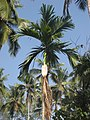 Areca nut tree old leaf falling.JPG