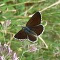 Aricia artaxerxes. Mountain Argus. - Flickr - gailhampshire (1).jpg