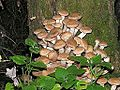 Armillaria mellea20100914 180.jpg