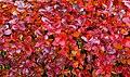 Aronia leaves on a rainy autumn day in Tuntorp 6.jpg