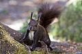 Arosa Eichhörnchen 02.jpg