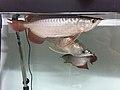 Arowana fish (37090442524).jpg