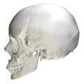 Articular tubercle of temporal bone - skull - lateral view.png