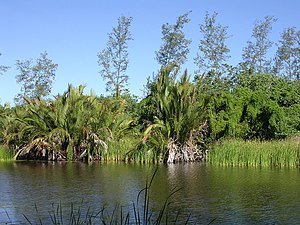 Asan Foun freshwater lagoon, Tilomar, Covalima, Timor-Leste May 2005, (the palm is Sago Palm Metroxylon sagu, reedbeds, and probably an undescribed Casuarina sp in background).jpg