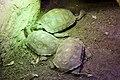 Asian Forest Tortoise at Chester Zoo.jpg