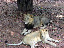 Asiatic lions in Thiruvananthapuram Zoo